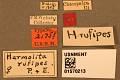 View Harmolita rufipes digital asset number 3