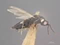 View Harmolita dactylicola digital asset number 1