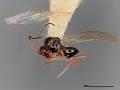 View Alloxysta coniferensis digital asset number 1