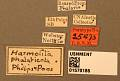 View Harmolita phalaricola digital asset number 3