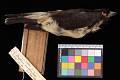 View Artamus leucorhynchus mentalis digital asset number 2