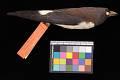 View Artamus leucorhynchus leucorhynchus digital asset number 2
