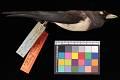 View Artamus leucorhynchus amydrus digital asset number 2