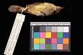 View Phylloscopus affinis subaffinis digital asset number 0