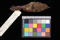 View Phylloscopus affinis subaffinis digital asset number 1