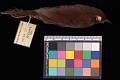 View Bradypterus barratti mariae digital asset number 2