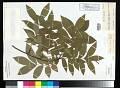 View Carya cordiformis (Wangenh.) K. Koch digital asset number 0