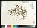 View Arthraxon hispidus (Thunb.) Makino digital asset number 0