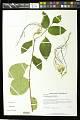 View Strophanthus preussii Engl. & Pax digital asset number 0