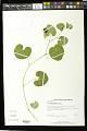 View Aristolochia fimbriata Cham. digital asset number 0