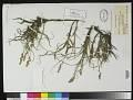 View Carex arenaria L. digital asset number 0