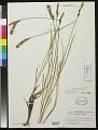 View Carex vestita Willd. digital asset number 0