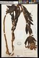 View Alstroemeria regnelliana Kraenzl. digital asset number 0