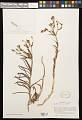 View Alstroemeria ligtu L. digital asset number 0
