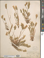 View Bromus hordeaceus subsp. divaricatus (Bonnier & Layens) Kerguélen digital asset number 1