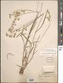 View Bromus briziformis Fisch. & C.A. Mey. digital asset number 1