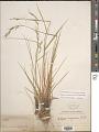 View Elymus arizonicus (Scribn. & J.G. Sm.) Gould digital asset number 1
