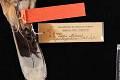 View Mimus patagonicus digital asset number 4