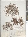View Euphorbia villifera Scheele digital asset number 1