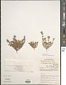 View Euphorbia dioeca Kunth digital asset number 1