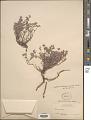 View Euphorbia tomentella Zipp. ex Span. digital asset number 1