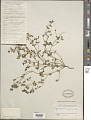 View Euphorbia humifusa Willd. ex Schlecht. digital asset number 1