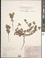 View Euphorbia laciniata Panigrahi digital asset number 1