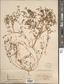 View Euphorbia chamaesyce digital asset number 1