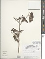 View Allophylus quercifolius (Mart.) Radlk. digital asset number 1