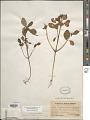 View Euphorbia elliptica Lam. digital asset number 1