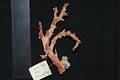 View Corallium japonicum digital asset number 5