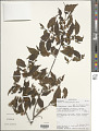 View Grewia triflora (Bojer) Walp. digital asset number 1
