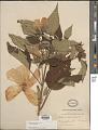 View Hibiscus moscheutos L. subsp. moscheutos digital asset number 1