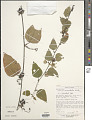 View Passiflora auriculata H.B.K. digital asset number 1