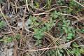 View Vaccinium crassifolium Andrews digital asset number 1