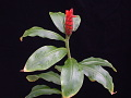 View Costus pulverulentus C. Presl digital asset number 11