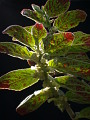 View Columnea spathulata Mansf. digital asset number 4