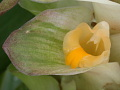 View Curcuma sp. digital asset number 4