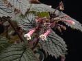 View Diastema racemiferum Benth. digital asset number 3