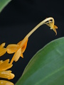 View Globba colpicola 'Golden Dragon' K. Schum. digital asset number 5