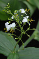 View Aneilema umbrosum (Vahl) Kunth subsp. umbrosum digital asset number 2