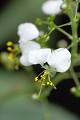 View Aneilema umbrosum (Vahl) Kunth subsp. umbrosum digital asset number 3