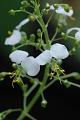 View Aneilema umbrosum (Vahl) Kunth subsp. umbrosum digital asset number 7