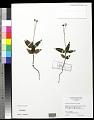 View Chimaphila maculata (L.) Pursh digital asset number 3