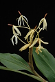View Hedychium hasseltii Blume digital asset number 8