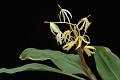 View Hedychium hasseltii Blume digital asset number 9
