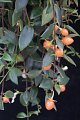 View Codonanthe gracilis (Mart.) Hanst. digital asset number 1