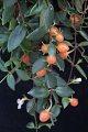View Codonanthe gracilis (Mart.) Hanst. digital asset number 2