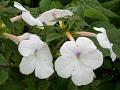 View Achimenes longiflora var. alba 'Jaureguia Maxima' DC. digital asset number 0