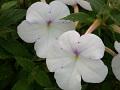View Achimenes longiflora var. alba 'Jaureguia Maxima' DC. digital asset number 1